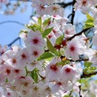 ヤマザクラ(山桜)とは|開花時期や種類、花言葉や人気の名所は?の画像