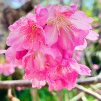 カンヒザクラ(寒緋桜)とは|開花時期や花言葉、沖縄や東京の名所は?の画像