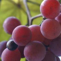 ぶどう(葡萄)の種類|種無しや皮も食べられる品種は?糖度はどれくらい?の画像