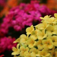 多肉植物 カランコエの種類|人気の品種は?それぞれの花や葉の特徴は?の画像