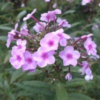 クサキョウチクトウの花言葉|花の特徴や代表的な種類は?の画像