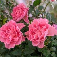 バラの見頃の時期はいつ?秋や冬の季節にも咲くの?の画像