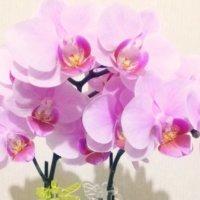 胡蝶蘭の花が終わったら?枯れたらどう復活させる?の画像