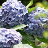 アジサイ(紫陽花)の種類|珍しい品種から人気の白い花を咲かせるものまでの画像