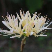 リコリスの種類|ヒガンバナ(曼珠沙華)との違いは?花の特徴は?の画像