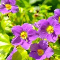 エキザカムの育て方|苗の植え方や鉢植えの方法は?冬越しもできる?の画像