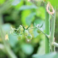 トマトの剪定|わき芽かきや摘心の時期や方法は?収穫量を上げるコツは?の画像