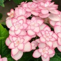 アジサイ(紫陽花)の正しい肥料の与え方|適した時期やおすすめの種類は?の画像