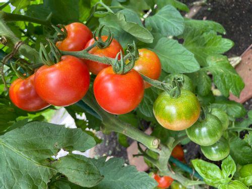 トマト かき ミニ 芽 ミニトマトの脇芽は取る?取らない?【最適な育て方を解説!】