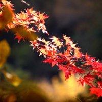 イロハモミジとは|普通のモミジとの違いや特徴、紅葉する条件は?の画像