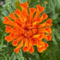 マリーゴールドの種類|人気の4品種の特徴や開花時期は?の画像