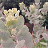 ユーカリが枯れる原因・対策|しおれた葉を復活させることはできる?の画像