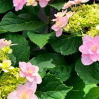 アジサイ(紫陽花)の土|アルカリ性・酸性で花色を変える方法は?の画像