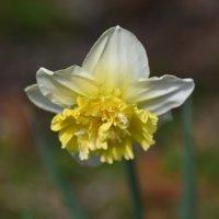 水仙(スイセン)の花が咲かない原因|花後の管理方法は?の画像