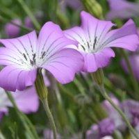 アグロステンマの育て方 種まきや苗植えのコツは?こぼれ種でも育つ?の画像