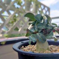 アデニウム・アラビカムの育て方|種や挿し木からでも育つ?花の時期は?の画像