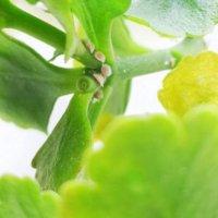 コナカイガラムシの駆除・対策|発生原因は?卵や幼虫の特徴は?の画像