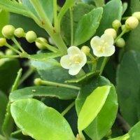 イヌツゲの花言葉|意味や由来は?花の特徴、種類は?の画像