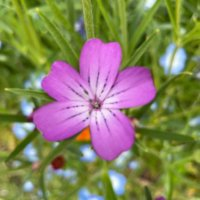 アグロステンマの花言葉|意味や由来は?花の特徴や開花時期は?の画像