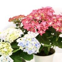 母の日は紫陽花&ドライ盆栽がおすすめ!返信用ポストカード付きギフト特集♫の画像