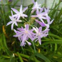 ツルバキアの花言葉|意味や由来は?独特のニオイが関係している?の画像