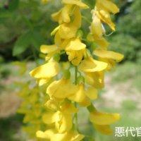 キングサリの花言葉|意味や由来は?花の特徴、種類は?の画像