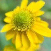 サンビタリアの花言葉|意味や由来は?花の特徴や種類は?の画像