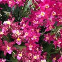 オドントグロッサムの育て方|季節ごとに栽培場所を変える?水やりのコツは?の画像