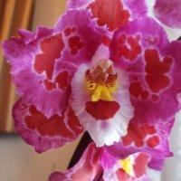 オドントグロッサムの花言葉|意味や由来は?個性的な見た目が関係してる?の画像