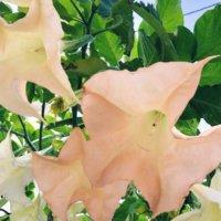 エンジェルストランペットの花言葉|花の特徴や種類、毒があるって本当?の画像