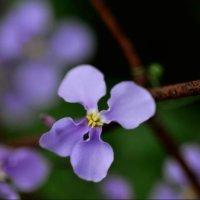 ムラサキハナナの花言葉|三国志の諸葛孔明が由来?花の特徴は?の画像