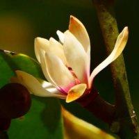 オガタマノキの育て方|植え付けや剪定の時期、挿し木や種まきで増やせる?の画像