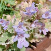 グレコマの花言葉|花の特徴や種類、どんな効能があるハーブ?の画像