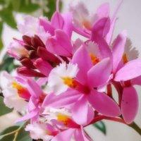 エピデンドラムの育て方|水苔の植え付けや株分けの時期、冬の管理方法は?の画像