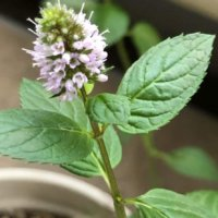 ペパーミントの育て方|植え付けや種まきの時期、株分けや挿し木での増やし方は?の画像