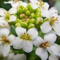 クレソンの花言葉|食用の種類や特徴は?の画像