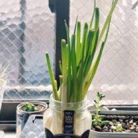 ネギの水耕栽培|ペットボトルだけでできる?肥料や水の与え方は?の画像