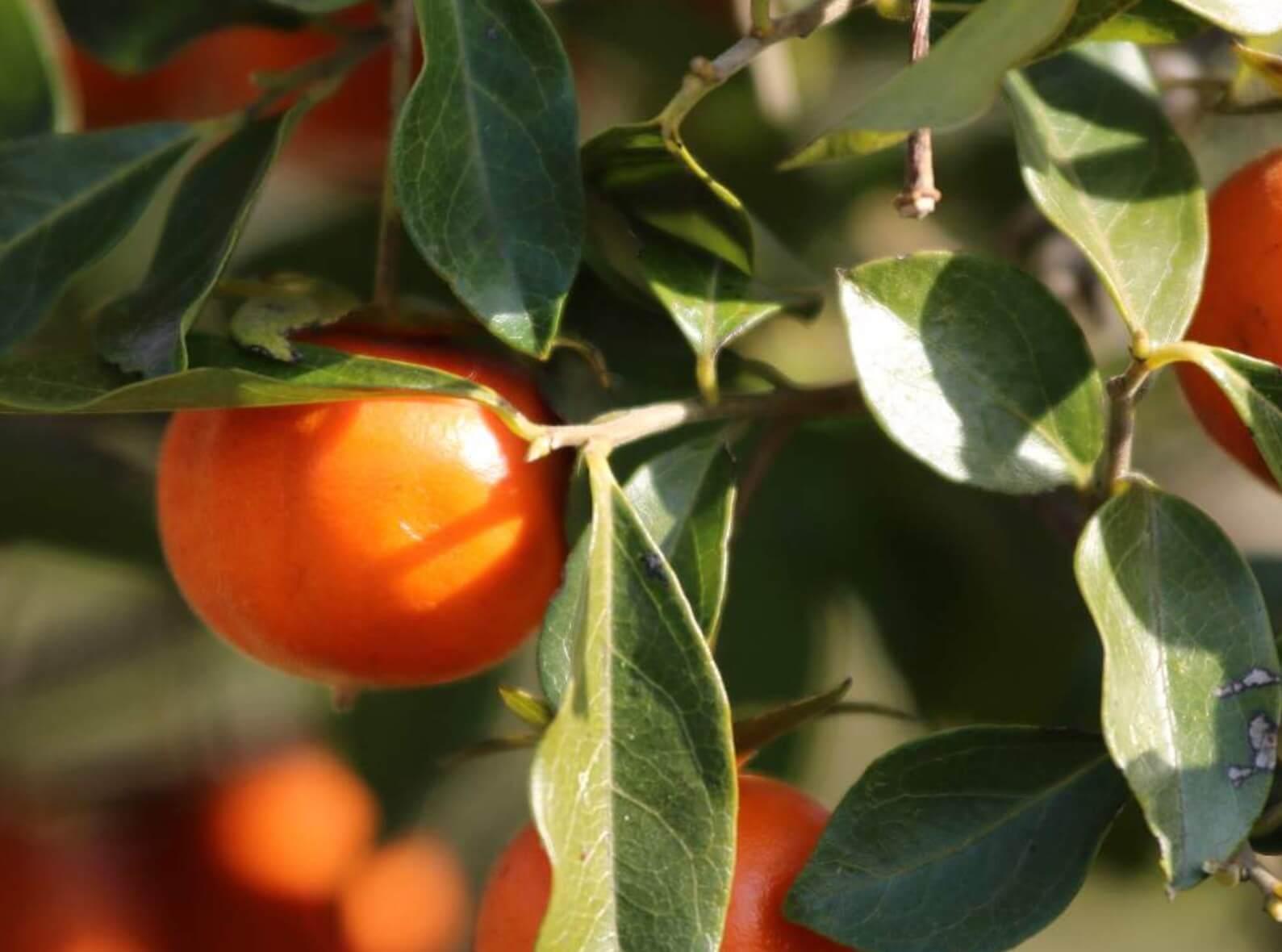の 時期 柿の木 剪定 柿の木 の