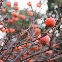 柿の木の剪定|時期や方法、若木と成木で剪定方法は違う?の画像