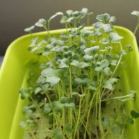 ルッコラの水耕栽培|ペットボトルとスポンジでできる簡単な方法とは?の画像