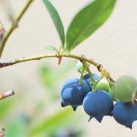 ブルーベリーの収穫時期|見分け方や保存の方法は?の画像