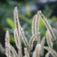 エノコログサの育て方|種をまく時期は?どんな花が咲く?花言葉は?の画像