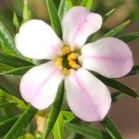 ワックスフラワーの育て方|植え付けや花がらつみの時期、挿し木の方法は?の画像