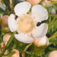 ワックスフラワーの花言葉|白や赤などの種類、花の特徴やドライでも楽しめる?の画像