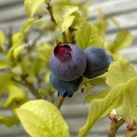 ブルーベリーの植え替え|目的や時期、鉢植えでの方法は?の画像