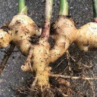 生姜(しょうが)の収穫時期・方法|タイミングの目安、その後の保存方法は?の画像