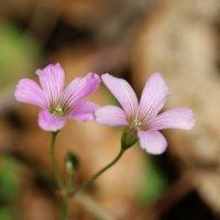 ムラサキカタバミの育て方|花の特徴や開花時期は?花言葉の意味は?の画像