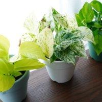 キッチンに置きたい観葉植物|おすすめの飾り方や風水効果は?の画像