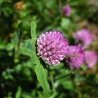 アカツメクサとは|花言葉はなに?似た花との違いは?蜜が甘いのはなぜ?の画像