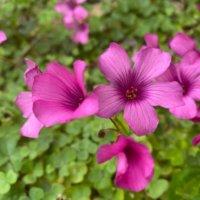 イモカタバミとは|花言葉や育て方は?食べられる?毒があるって本当?の画像